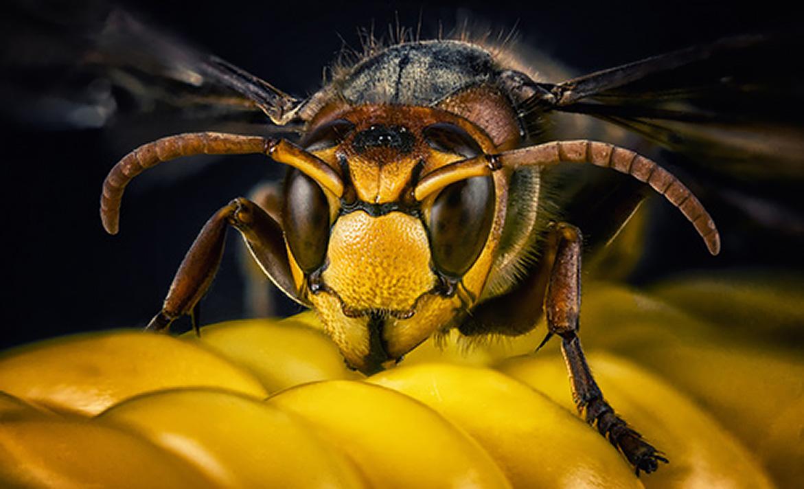 Frelon asiatique : le péril jaune ... et noir !